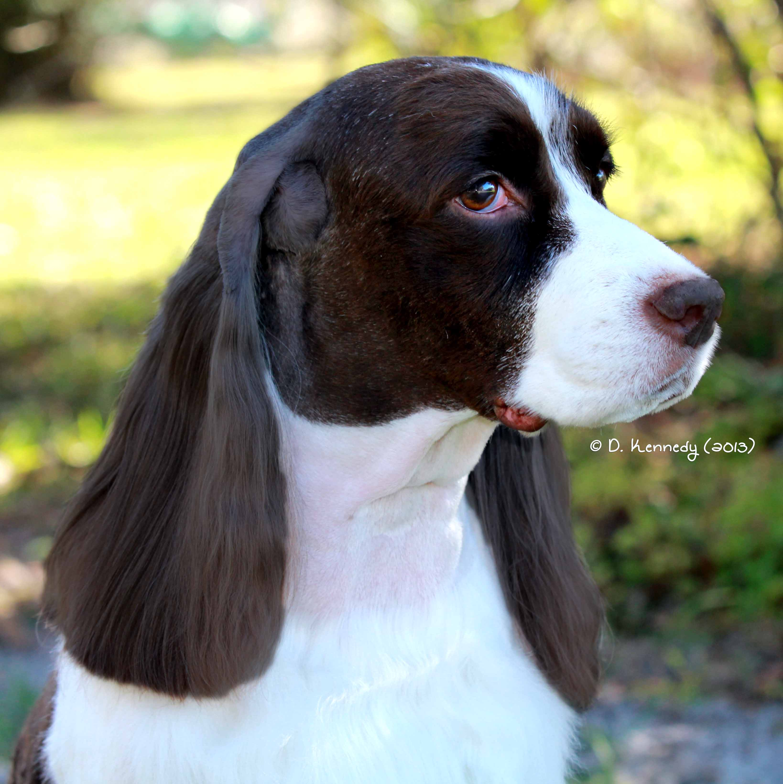Churchill English Springer Spaniels - Weeki Wachee, FL